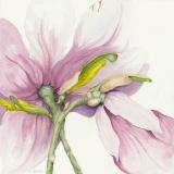 fr_magnolia.png