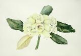 rhododendronmacabeanum.jpg