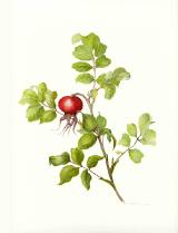 rosehip.png