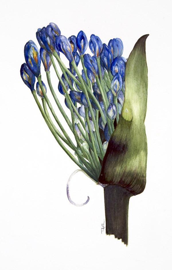 tiffameadows_blue_lily_teardrop